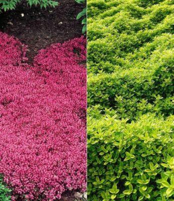 Bodendecker Thymian-Kollektion rot und grün 6 P...