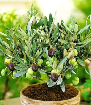 Baldur Garten Olive,1 Pflanze Olea europaea Olivenbaum