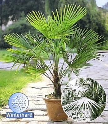 Baldur Garten Winterharte Kübel-Palmen 2 Pflanzen, Hanfpalme Trachycarpus fortunei