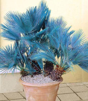 Baldur Garten Winterharte Blaue Zwerg-Palmen, 1 Pflanze, Chamaerops humilis Cerifera