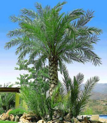 Chilenische Honig-Palmen, 1 Pflanze, Jubaea chilensis