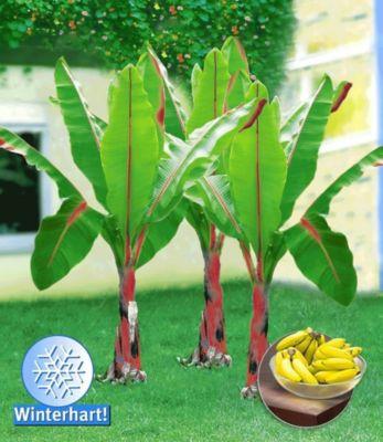 Baldur Garten Winterharte Bananen ´rot´, 1 Pflanze, Musa Basjoo Red