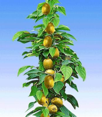 Säulen-Kiwi &acuteIssai®´, 1 Pflanze