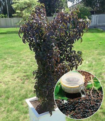 """Baldur Garten Dunkelroter Säulen-Holunder """"Black Tower®"""",1 Pflanze"""