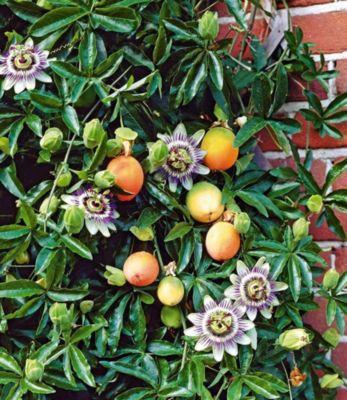 Baldur Garten Maracuja-Pflanze 1 Pflanze Passiflora edulis Passionsblume Passionsfrucht