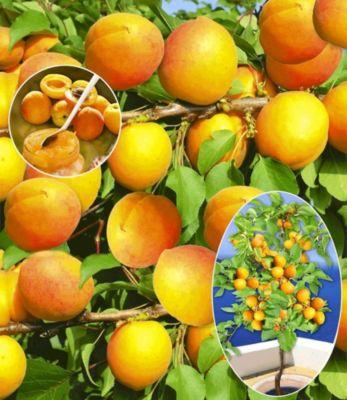 Baldur Garten Aprikosen ´Compacta Super Compact®´, Aprikosenbaum 1 Pflanze, Prunus armeniaca