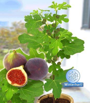 """Baldur Garten Frucht-Feige """"Rouge de Bordeaux"""" groß,1 Pflanze Ficus carica Feigenbaum"""