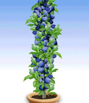 saulen-pflaumen-acuteblack-amber-1-pflanze-prunus-domestica