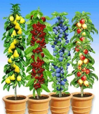 Baldur Garten Säulen-Obst-Kollektion Birne, Kirsche, Pflaume & Apfel, 4 Pflanzen