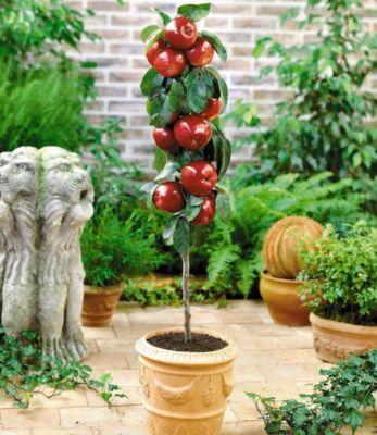Baldur Garten Befruchtersorte Apfel ´Gala´, 1 Pflanze