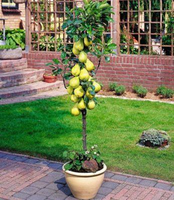 Baldur Garten Befruchter-Sorte Birnen ´Conference´, 1 Pflanze, Pyrus communis Conference
