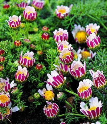 Winterharter Bodendecker Afrikanisches Ringkörbchen, 4 Pflanzen Anacyclus depressus