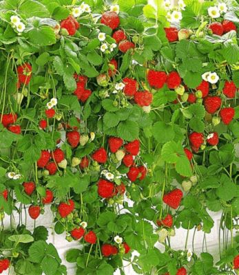 Hänge-Erdbeere Hummi 6 Pflanzen Hängeerdbeeren