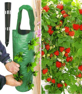 Hänge-Erdbeere® ´Hummi®´ 3 Pflanzen...