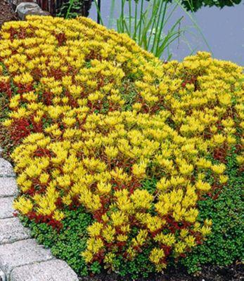 Winterhart Sedum Golden Oreganum 9 Pflanzen Sedum oreganum Feurige Fetthenne