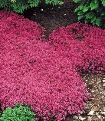 Winterhart Bodendecker-Thymian 9 Pflanzen Thymu...