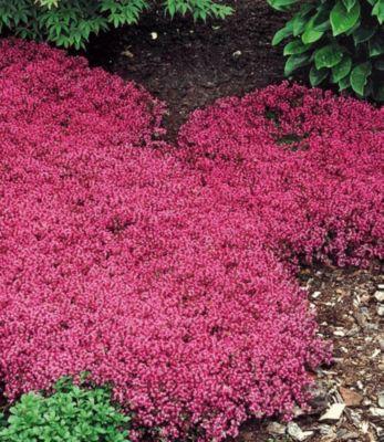 Bodendecker-Thymian 9 Pflanzen Thymus serpyllum...