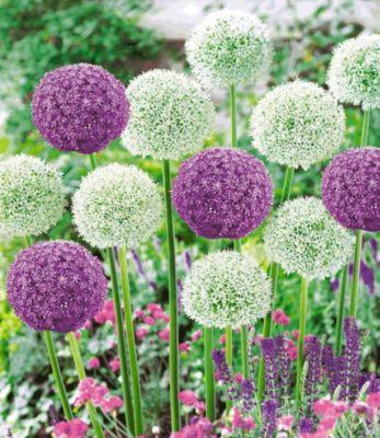 Riesen-Allium DUO 9 Zwiebeln Zierlauch weiß und...