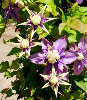 Gefüllte Clematis ´´Taiga®´´, 2 Pflanzen Waldrebe winterhart