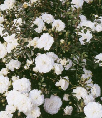 Rosen &acuteSea Foam&acute, 3 Pflanzen Bodendec...