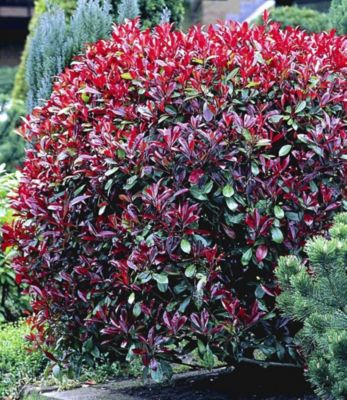 Photinia-Hecke ´Red Robin´, 5 Pflanzen