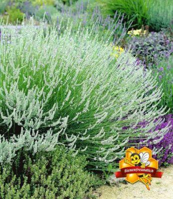 wei-er-lavendel-3-pflanzen-lavandula