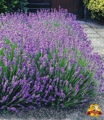 Blauer Lavendel Lavandula, 3 Pflanzen