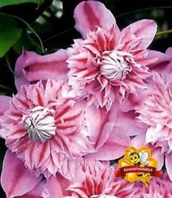 waldrebe-clematis-josephine-tm-evijohill-n-1-pflanze