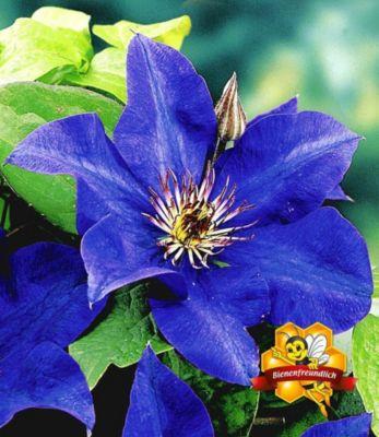 blaue-clematis-the-president-waldrebe-1-pflanze