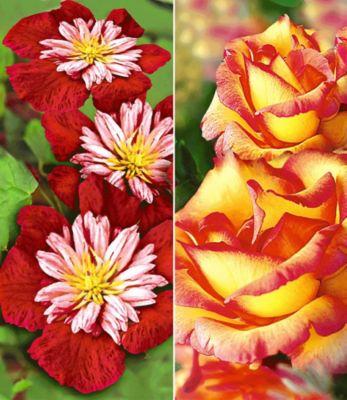 Set Klematis & Rose: Clematis ´Avant Gard...