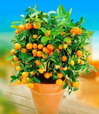 """Baldur Garten Orangen-Bäumchen,1 Pflanze Citrus microcarpa """"Calamondin"""" Zitruspflanze"""