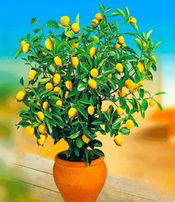 Baldur Garten Zitronen-Bäumchen,1 Pflanze Citrus limon Zitruspflanze