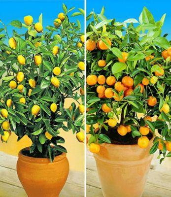 Zitronen- & Orangenbaum,2 Pflanzen Citrus Calamondin Citrus limon