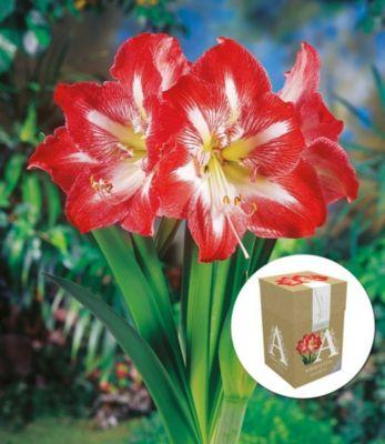 ungefullte-amaryllis-minerva-mit-geschenkbox-1-zwiebel-ritterstern-hippeastrum