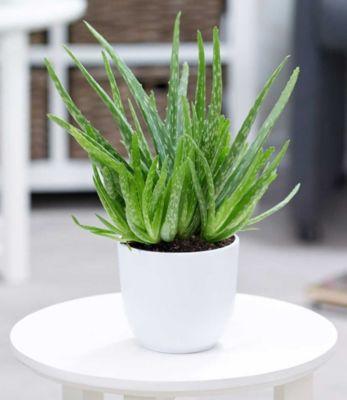 aloe vera pflanzen preisvergleich die besten angebote online kaufen. Black Bedroom Furniture Sets. Home Design Ideas