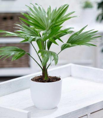 """Baldur Garten Palme """"Livistona Rotundifolia"""",1 Pflanze"""
