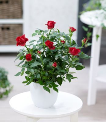 topfrose-rot-1-pflanze