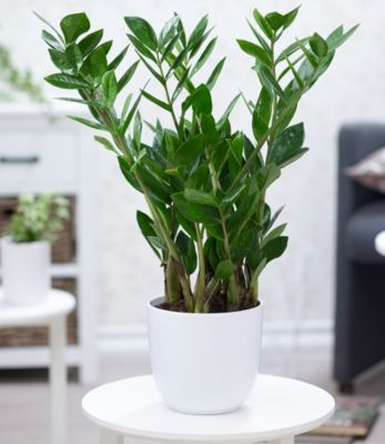 Baldur Garten Zamioculcas im 17 cm Topf,1 Pflanze