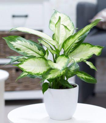 """Dieffenbachie """"Camilla"""",1 Pflanze"""