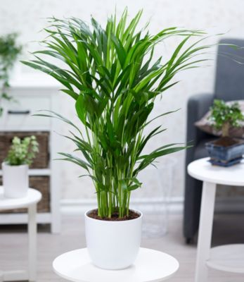 Baldur Garten Areca Palme im 17 cm Topf,1 Pflanze