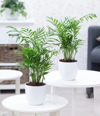 zimmerpalmen-duo-2-pflanzen