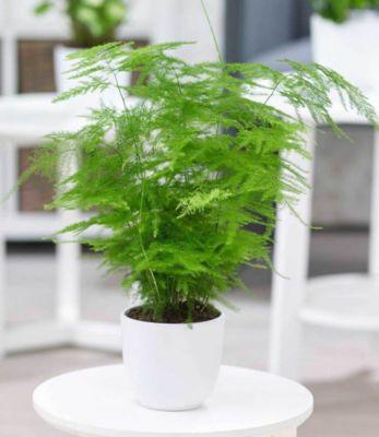 Asparagus Plumosa, 1Pflanze