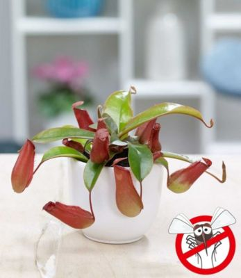 kannenpflanze-bloody-mary-1-pflanze