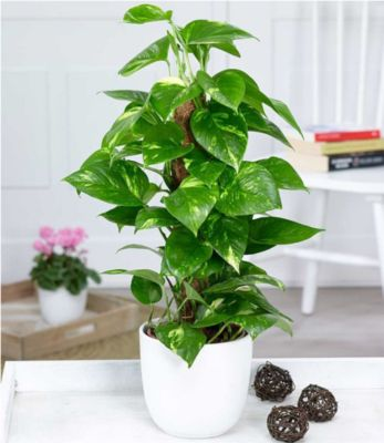 Efeutute am Moosstab,1 Pflanze