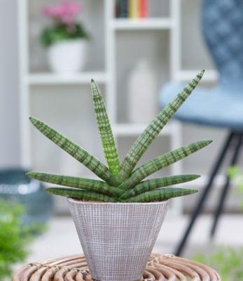 Sanseveria Skyline´´ inkl. Keramiktopf,1 Pflanze´´ | Garten > Pflanzen > Blumentöpfe | Baldur-Garten