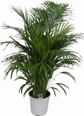 Areca Palme Ca 100 Cm Hoch1 Pflanze