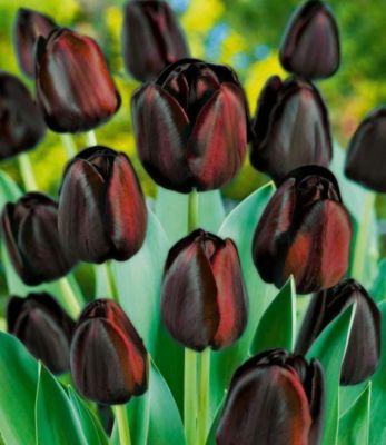 Tulpen &#39Königin der Nacht&#39, 10 Zwiebeln