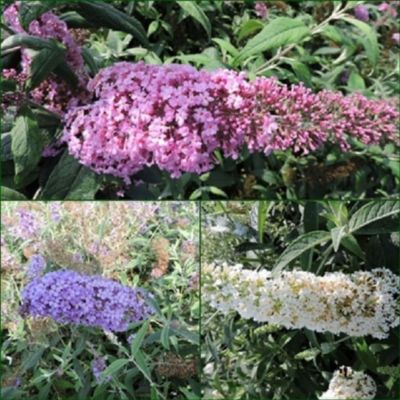 pflanzen discounter24 3 Schmetterlingsflieder, Buddleja Pink Delight, Reve d.P. blue, Reve d.P. White 15-20 cm Topfpflanze