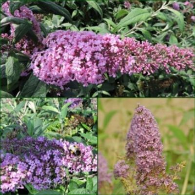pflanzen discounter24 3 Schmetterlingsflieder, Buddleja Pink Delight, Nanho Blue, Empire Blue 15-20 cm Topfpflanze