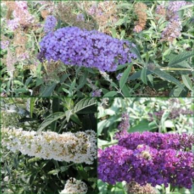 pflanzen discounter24 3 Schmetterlingsflieder, Buddleja Reve de papillon Blue, R.d. P. White, Black Knight 15-20 cm Topfpflanze